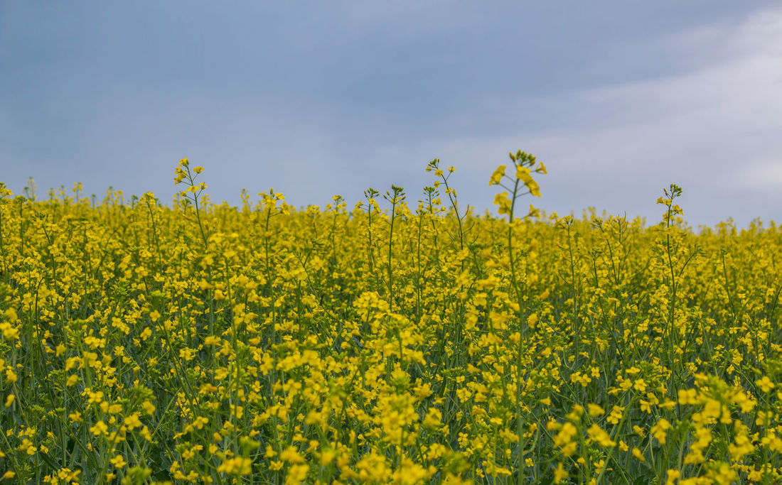 As far as the eye can see... Agriculture Background Beauty In Nature Canola Canola Field Clouds And Sky Crop  Cultivated Cultivated Land Day Farm Field Flower Fragility Growth Landscapes Nature No People Outdoors Plant Rural Scene Sky Springtime The Week On EyeEm Yellow Breathing Space