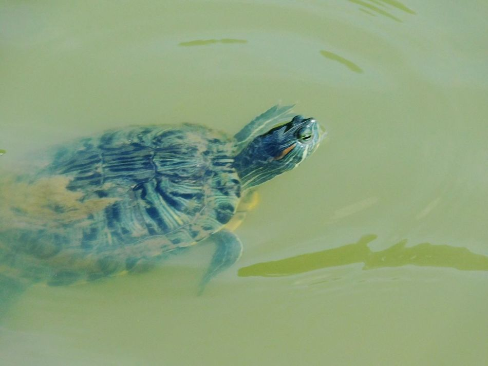 Just swimming along. Redearsliderturtle Redearslider Turtle Love Reptile Reptile Photography Reptile Collection SemiAquatic Emydidae Awesomeshot Turtle In A Pond Turtle In The Pond