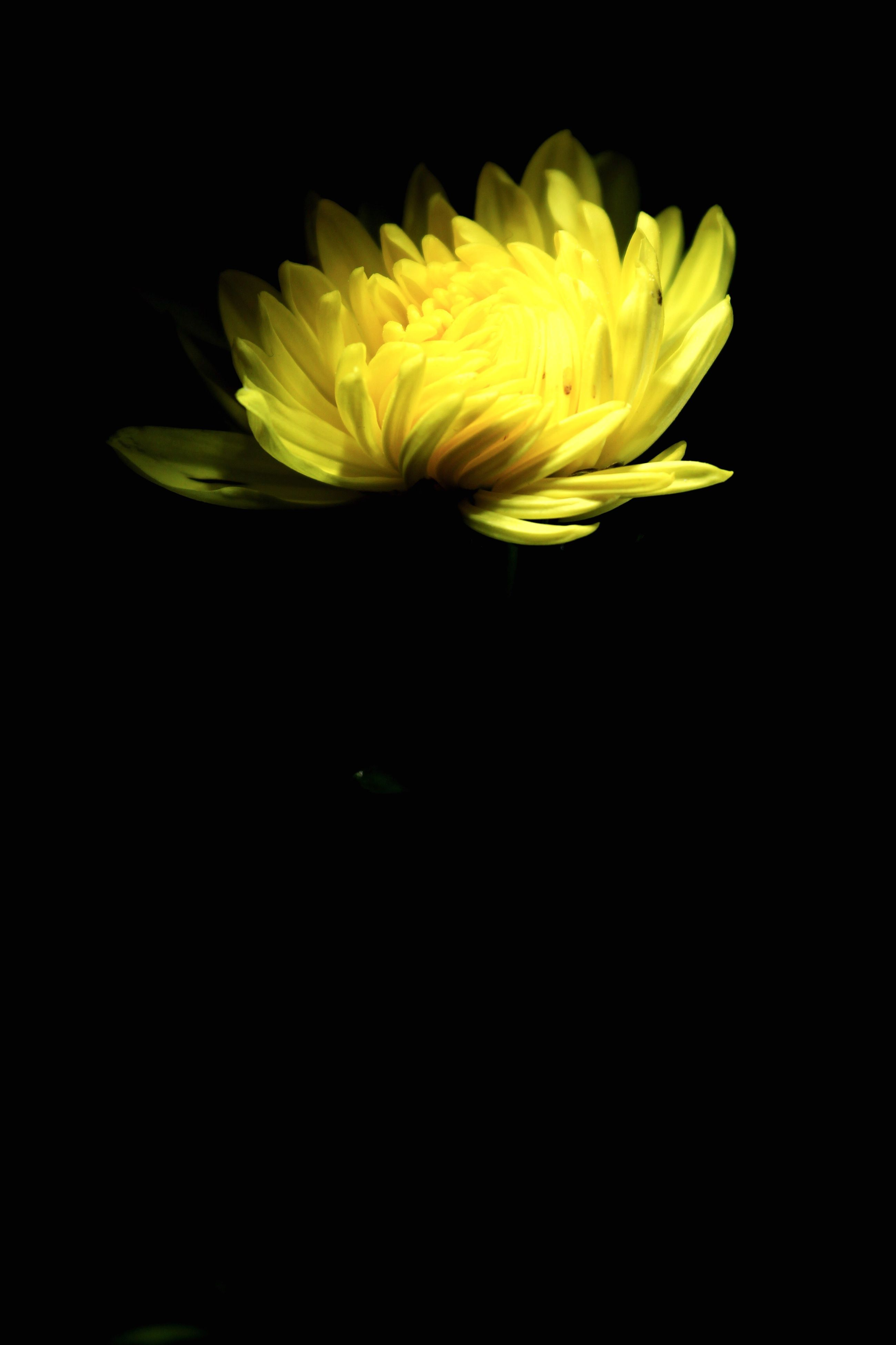 flower, black background, studio shot, petal, yellow, flower head, freshness, fragility, beauty in nature, nature, close-up, growth, single flower, copy space, plant, blooming, no people, night, stem, cut out