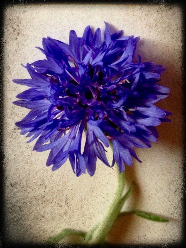 In My Garden Oklahoma Nature EyeEm Best Shots - Nature EyeEm Nature Lover Flowers Tulsa, Oklahoma Bachelor Buttons Bachelor Button
