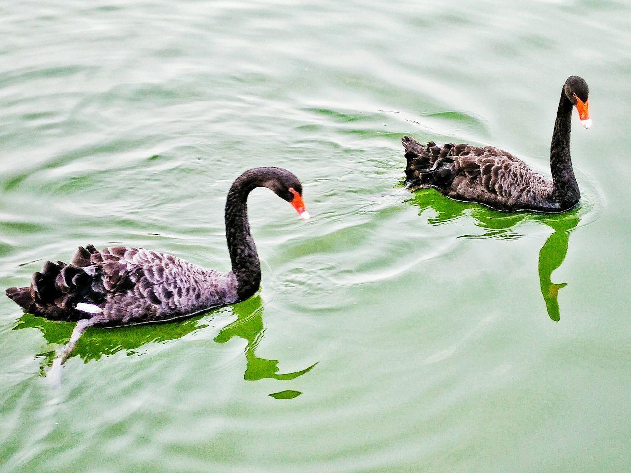 Black Swan Black Swans