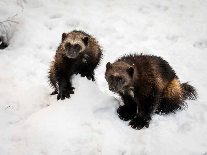 Two young wolverines sitting in the snow in Kristiansand Zoo Gulo Gulo Norway Snow ❄ Winter Animal Themes Animal Wildlife Animals In The Wild Carcajou Cold Temperature Day Glutton Mammal Mustelidae Nature No People Outdoors Predator Quickhatch Skunk Bear Snow Two Animals Winter Wolverene Wolverines Young Animal