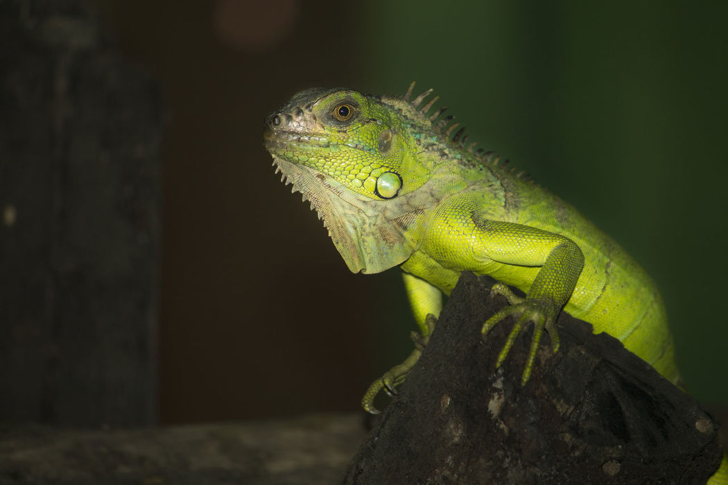 Beautiful Green Chameleon eye to eye Animal Themes Animal Wildlife Animals In The Wild Chameleon Chameleon Eye Chameleon On A Tree Chameleon_collection Chameleons Close-up Green Chameleon Green Color Green Reptile Iguana Lizard Nature One Animal Outdoors Reptile Reptile Photography