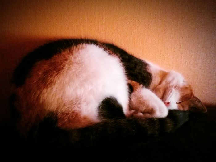 Animal Themes Pets Domestic Animals Domestic Cat One Animal Cat Mammal Feline Sleeping Relaxation Close-up Resting Whisker Laziness Zoology No People Kitten