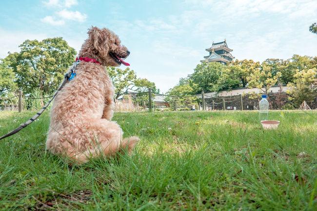 Enjoying Okayama Castle Castle Dog Field Grass Grassy Ilovemydog Japan Mammal Mypet Outdoors Sky Spring Walk Walking Around