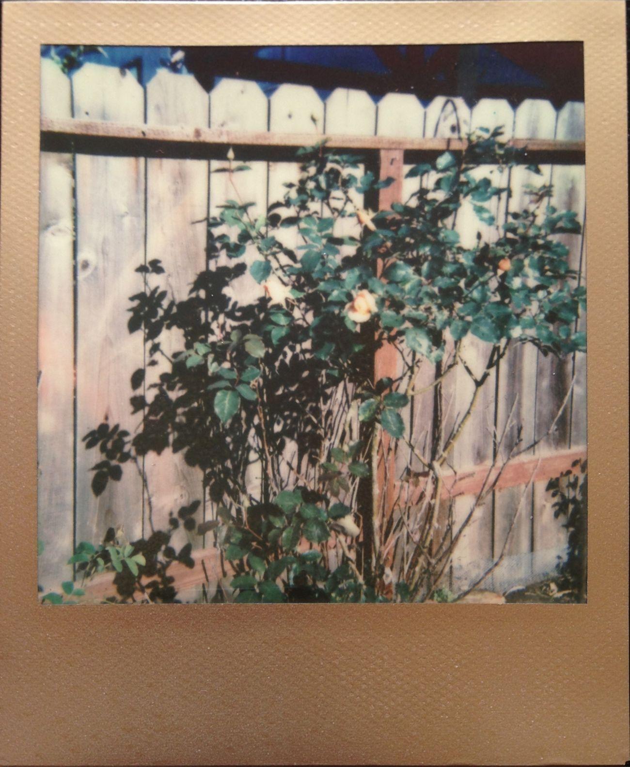 Pink Roses Polaroid Real Polaroid Garden