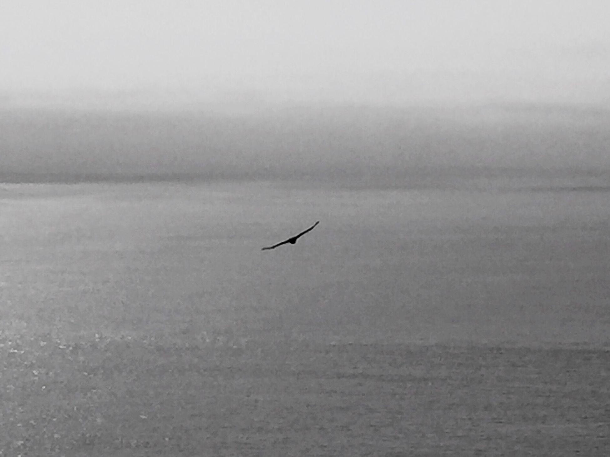 Full tilt. TruthinBigSur Big Sur TruthShot Bird Photography Flight Wings Hawk