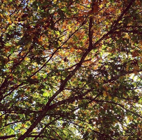 Looking up from the base of an oak tree during fall Oak Trees Fall Beauty