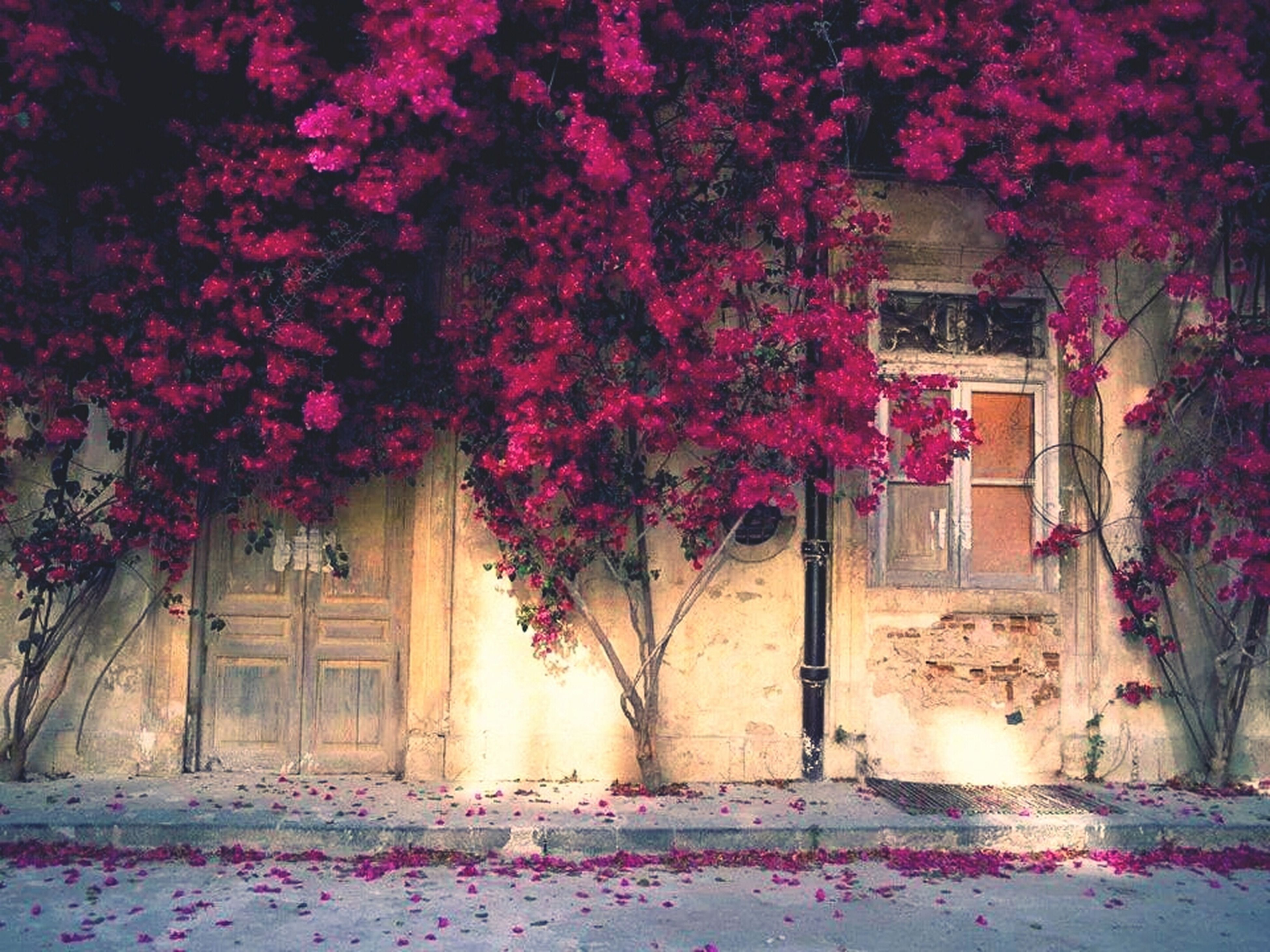 built structure, architecture, building exterior, house, flower, growth, tree, plant, window, pink color, nature, door, sunlight, wall - building feature, residential structure, no people, outdoors, day, front or back yard, beauty in nature