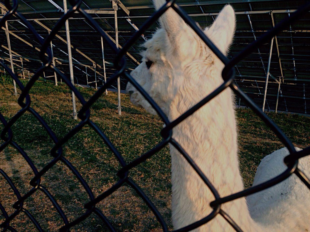 Animal Photography Alpaca High School Memories High School Photography Junkie instagram: @8.Lbs