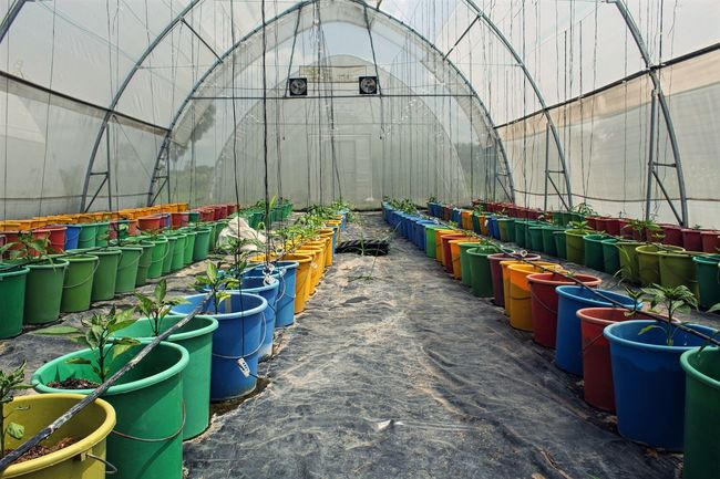 Greenhouse agriculture in Ho, Volta Region, Ghana Agriculture Bucket Colorful Development Ghana Green Green Color Greenhouse Greenhouse Plants Growing Plants In A Row Multi Colored Plant Volta Business