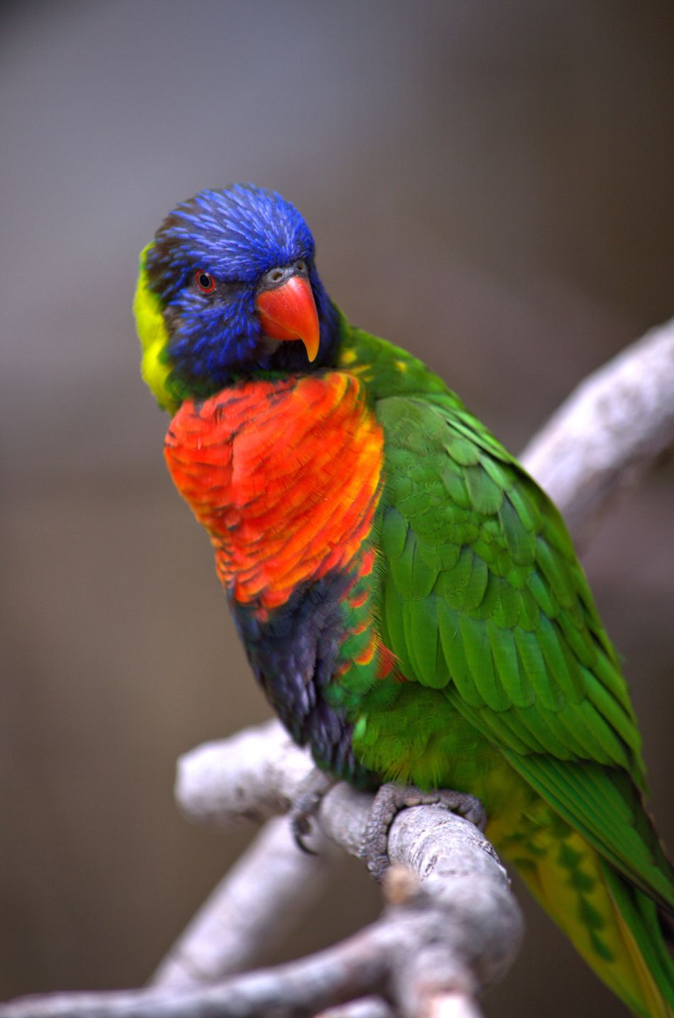 One Animal Bird Rainbow Lorikeet Multi Colored Animal Wildlife Parrot Perching Nature Outdoors Close-up Focus Object San Antonio, Texas San Antonio Zoo Maximum Closeness Animal