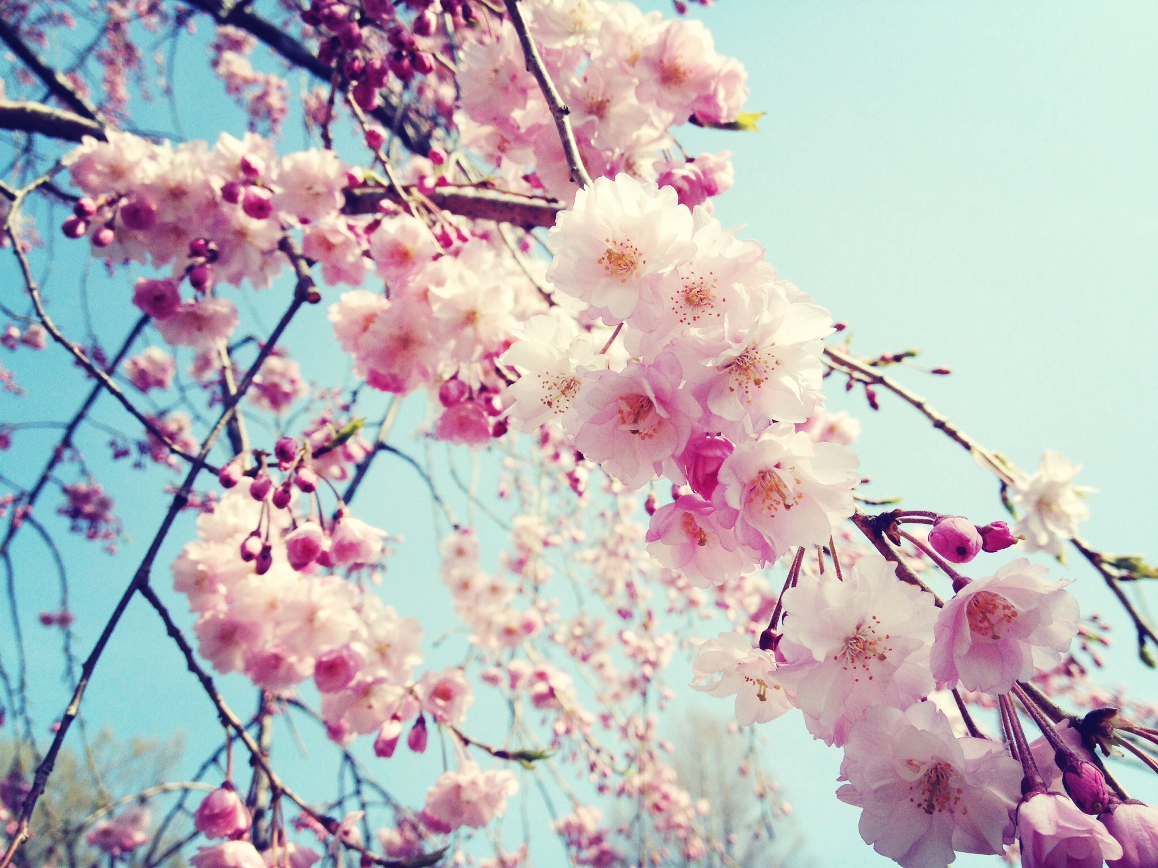flower, freshness, pink color, branch, fragility, tree, cherry blossom, low angle view, growth, cherry tree, beauty in nature, blossom, nature, petal, blooming, in bloom, springtime, pink, sky, fruit tree