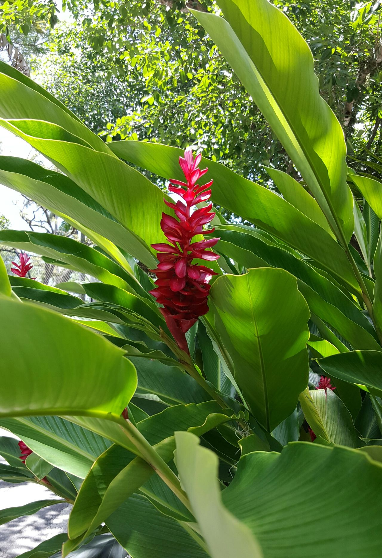 Hidden Beauty (Red Ginger) Nature Beautiful Flower Wonderful Colors Outdoors Exotic Red Green Background Lush Foliage Lush Greenery Lushview Light And Shadow Light Reflection Naples💙