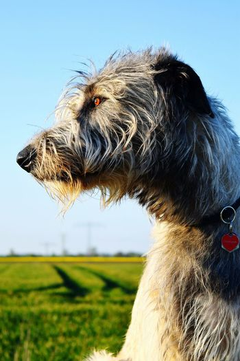 Taking Photos Check This Out Cheese! Spring 2016 Dog Of Eyeem Herrentag How's The Weather Today? Dogwalk Dogslife Cearnaigh Irish Wolfhound The Places I've Been Today May 2016 Enjoying Life Bokeh Nature Springtime Evening Light The Look Eyes Are Soul Reflection