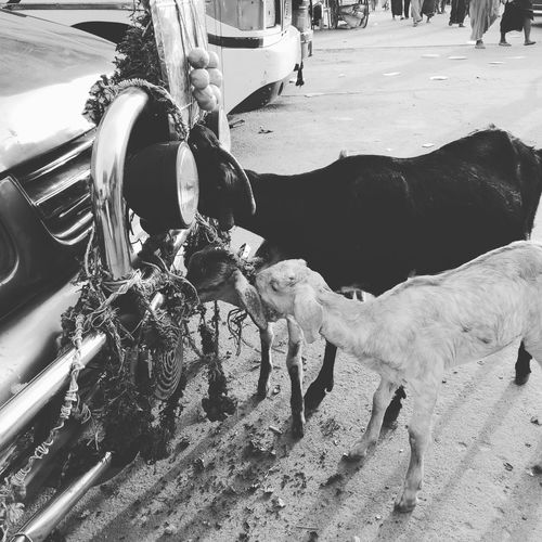 Hungry is painful ...😢😢 Hungry Goat Animal Transportation Day Mode Of Transport Outdoors Water No People Close-up