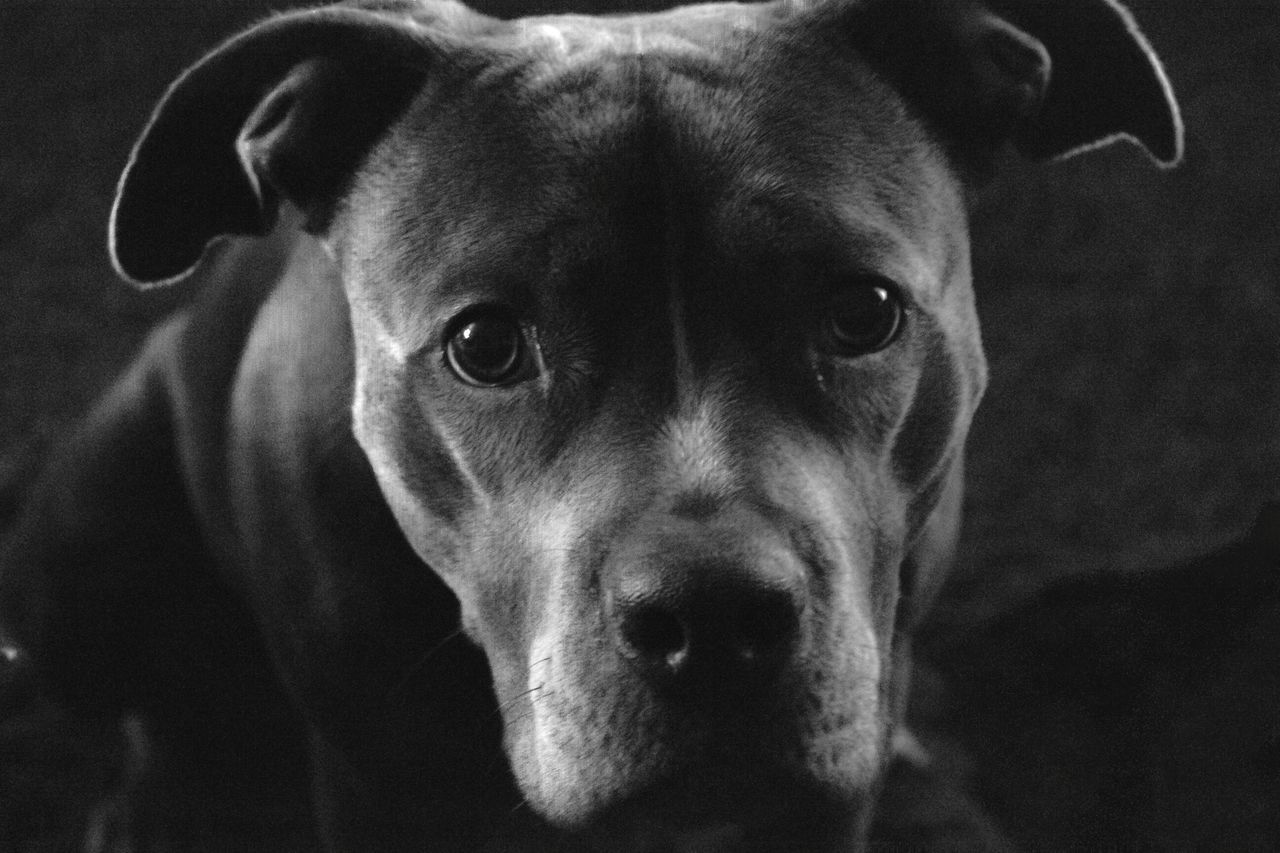 One Animal Dog Looking At Camera Pets Animal Head  Close-up Domestic Animals Animal Themes Portrait Black Background Angel Beauty Pitbull Pitbullsarefamily Pitbulllovers Pitbull Dog  PitBullNation Pitbull Lives Matter Black & White Low Angle View No People Denvertography Denver Colorado  Gracie