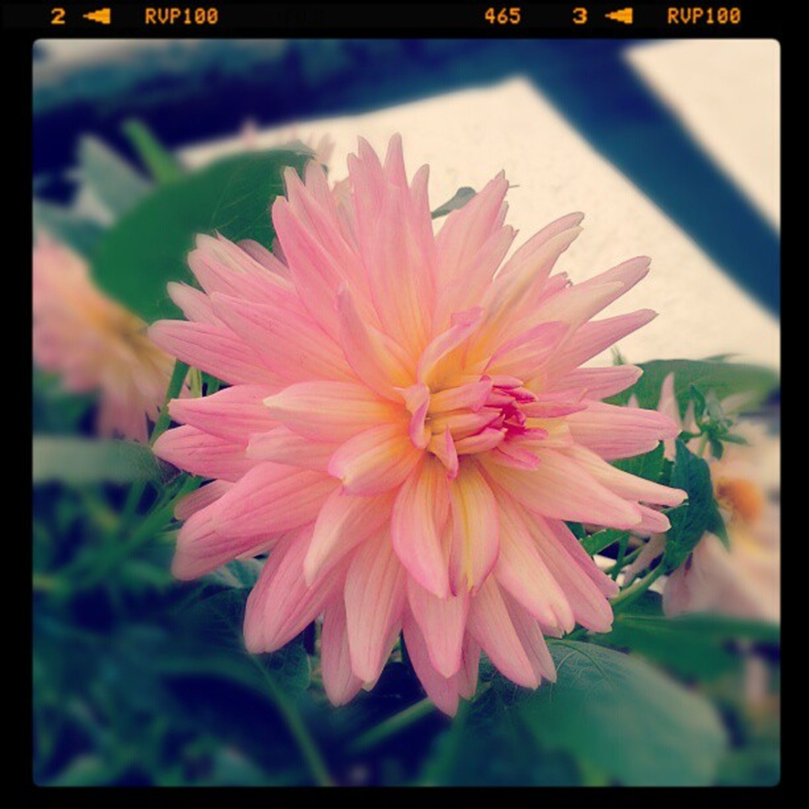 transfer print, flower, auto post production filter, freshness, petal, flower head, fragility, close-up, growth, beauty in nature, focus on foreground, pink color, nature, blooming, plant, day, single flower, outdoors, no people, pollen