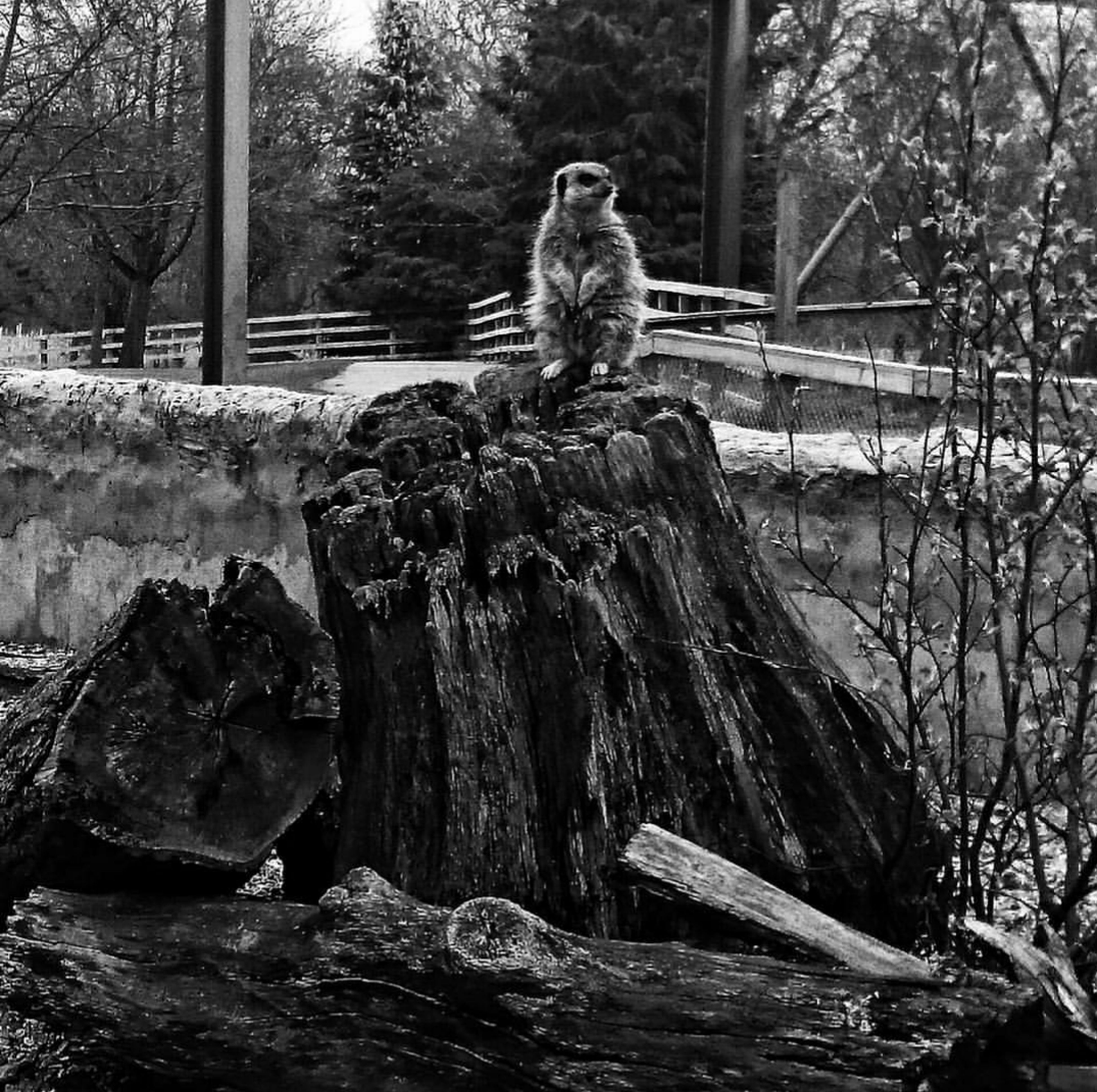 Tree No People Animals In The Wild Outdoors Snapshots_daily Mobilephotography Meerkats Standing Meerkat Animal Likes4likes Meerkats On Guard Meerkats Compare The Meerkat Comparethemeekat PhonePhotography Photooftheday Snapshots_daily Photography Likesphotogram Zoo Photography  Zoophotography ZOO-PHOTO Meerkat Photography Meerkat, Cute Animals, Furry, Animal Close Up, Yellow, Zoo, Zoo Pics, Meerkat Pics Animal Themes Like4likes