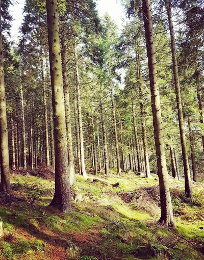 Tree Forest Tree Trunk Nature Growth Beauty In Nature Day No People Tranquility WoodLand Tranquil Scene Green Color Aberdeen,Scotland Natures Diversities Scotlandlover EyeEm Best Shots Scotland Wild Landscape Scotlandpassion EyeEm Nature Lover Eye4photography  Beauty In Nature Nature