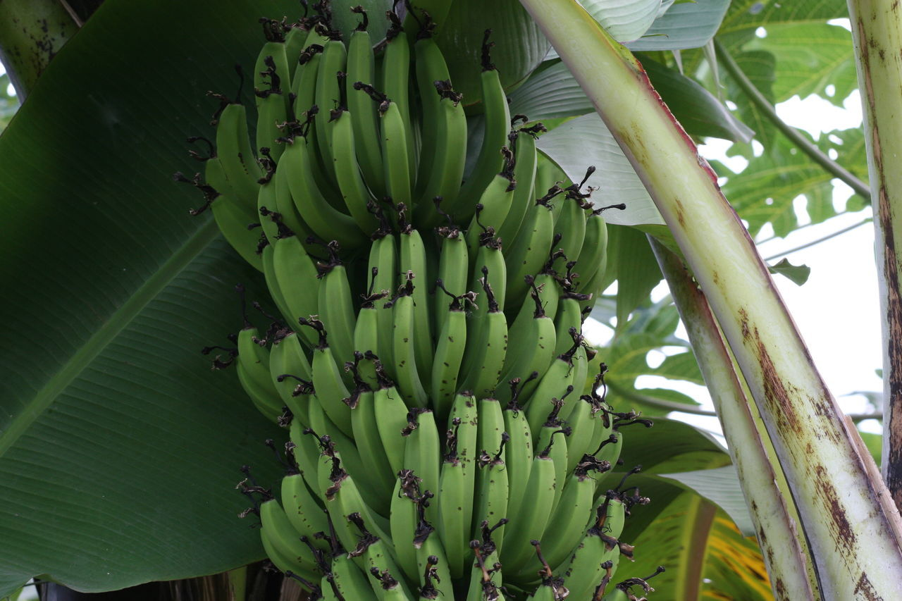 Abundance Agriculture Banana Bunch Banana Tree Bananas Beauty In Nature Green Green Bananas Growing Nature Plant Tropical Fruits Tropical Plants