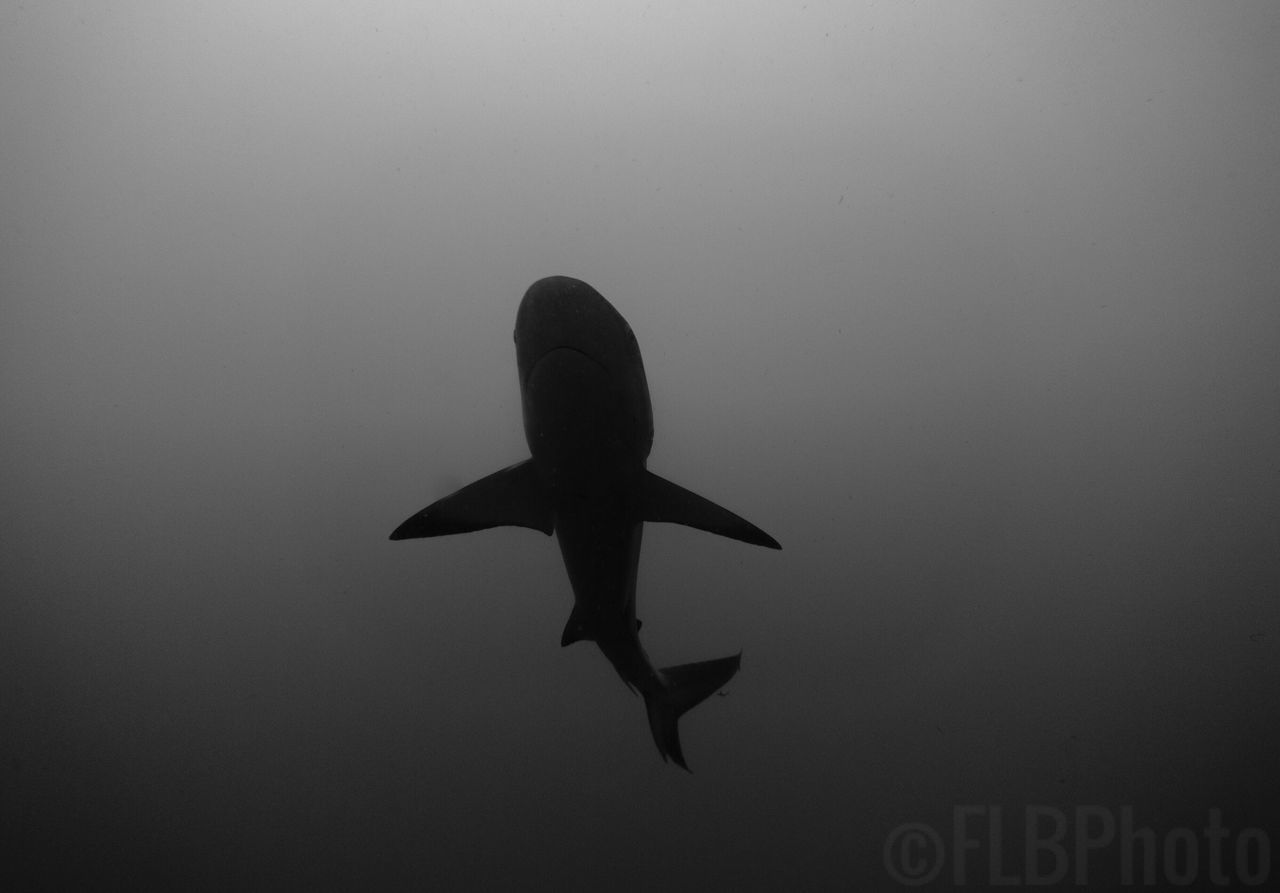 Caribbean Reef Shark overhead at Shark Canyon in Palm Beach, Fl Silhouette Animals In The Wild Swimming Sea Life Nature UnderSea Shark Shark Diving  SCUBA Scuba Diving Underwater Photography Photography Photographer Nature Photography Dive Sea Ocean Reef