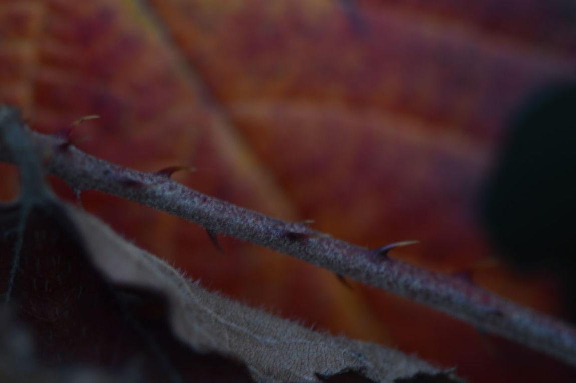 Autumn Beauty In Nature Close-up Leaf Macro Macro Photography Nature Nikon No People Nofilter Raspberry épine