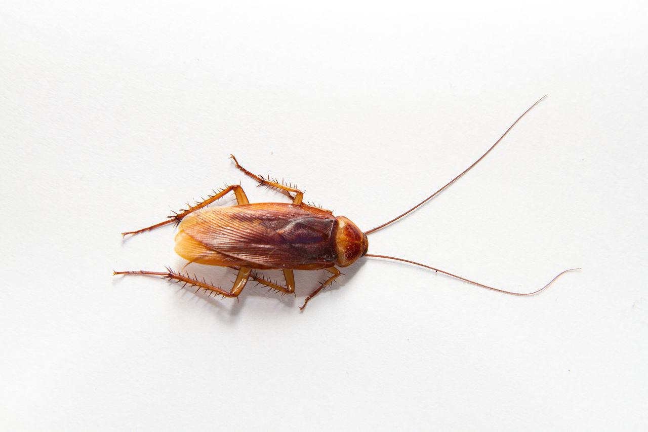 Beautiful stock photos of cockroach, Animal Antenna, Animal Themes, Animal Wildlife, Animals In The Wild