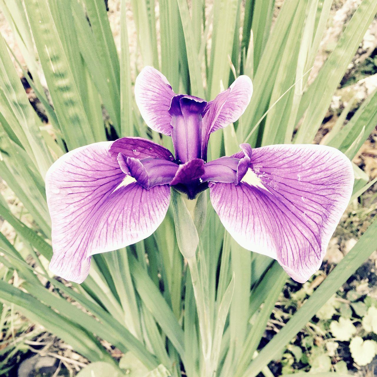 あやめ 花 自然 里山 田舎暮らし Nature IPhoneography Countryside Japan Flower Blossom