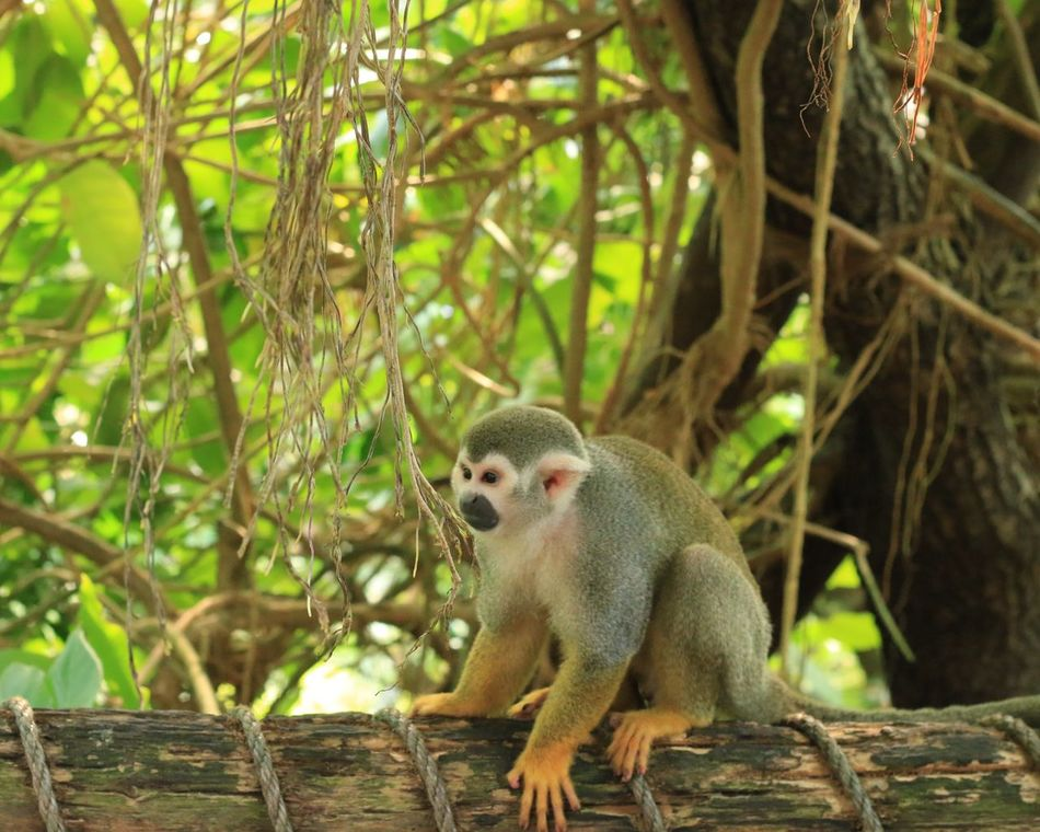 Monkey island 🐒 One Animal Animals In The Wild Tree Animal Themes Animal Wildlife Mammal Outdoors Day Branch No People Nature Monkey Tree Trunk Sitting Close-up Zoo