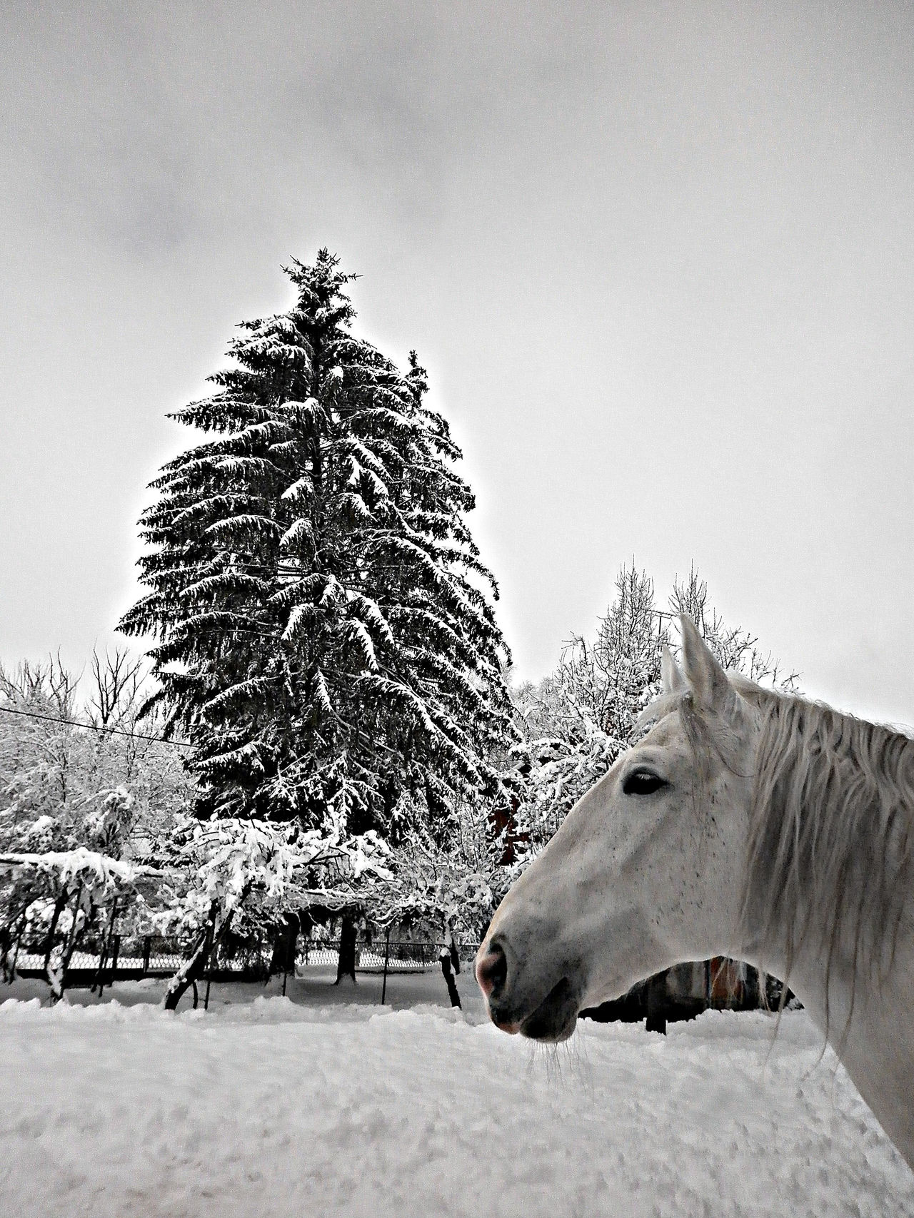 Animal Themes Beauty In Nature Cold Temperature Domestic Animals Horse Horses Nature No People One Animal Snow Tree Winter