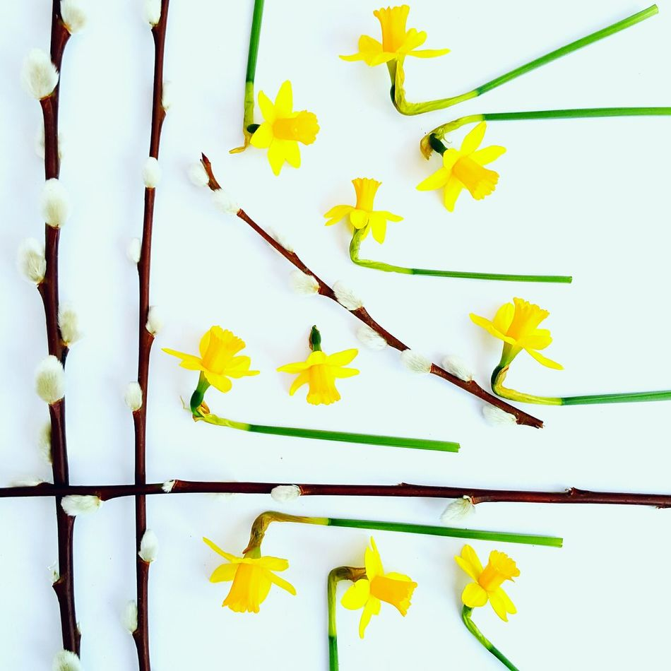 Daffodils and willow. Yellow Nature No People Flower Flower Head Close-up Fragility Beauty In Nature Day Outdoors Still Life Beauty In Nature Garden Flowers Nature Freshness Spring Time Spring Flowers Springtime Flowers Daffodils Flowers White Background Daffodil Blossom Willow Branch Tete Et Tete