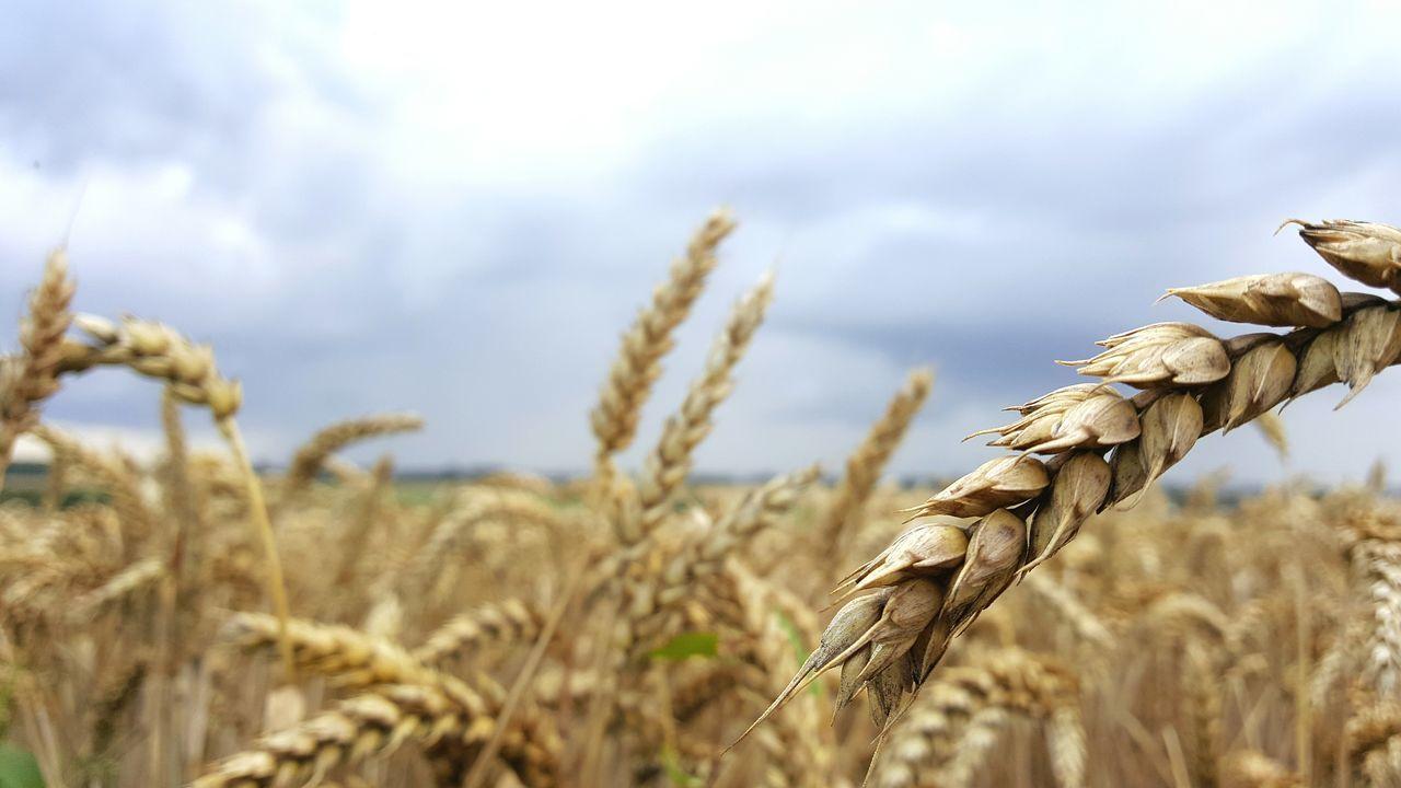 Field Fieldscape Landscape Landscape_Collection Lanscape Photography Seeds Harvest Harvesttime Clouds And Sky Cloudy Day