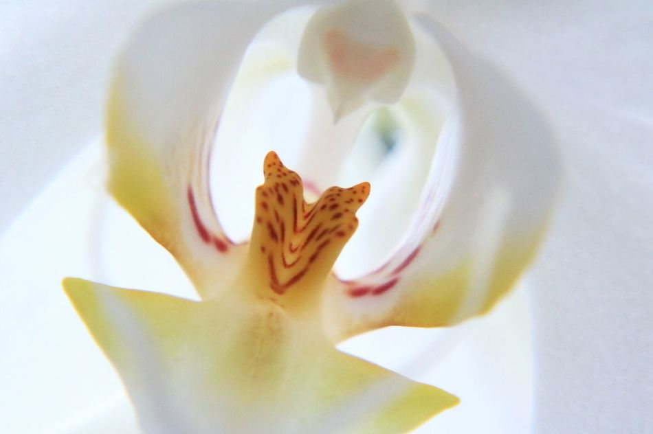 Colors And Patterns Composition Seetrough Orchid Flower Canon760D 100mm 2.8