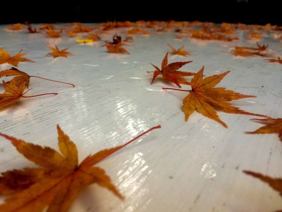 Leaf Autumn Change Maple Leaf Maple Leaves Dry Fallen Orange Color Nature Maple Tree High Angle View Close-up Outdoors No People Beauty In Nature Wet Fragility Water Fallen Leaf Hello World Day Low Angle View Japanese  https://youtu.be/AULaJdMPmIw