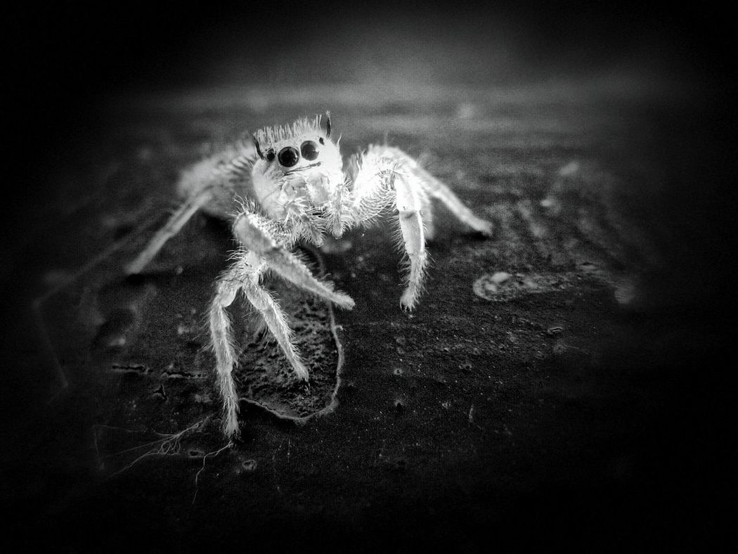 Experimental edit starring Tim. Experimental Edit Deep Filtering Filtronomy B&w Photography Vignette Jumping Spider Spider Arachnid Arachnid Photography Arachnid Obsession Arachnids Arachnid_perfection Arachnophobia Andalucía Nature Andalucia Spain Monochrome Photography Awehaven's Andalucia