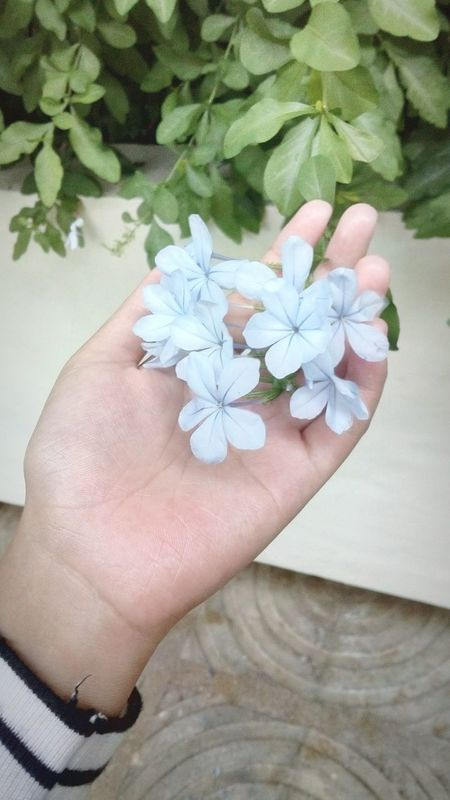 PERIWINKLE First Eyeem Photo Blooms.. Lavander Flowers Nature Photography Flowers Lovelyflowers Philippines ❤️ Periwinkle Flowers