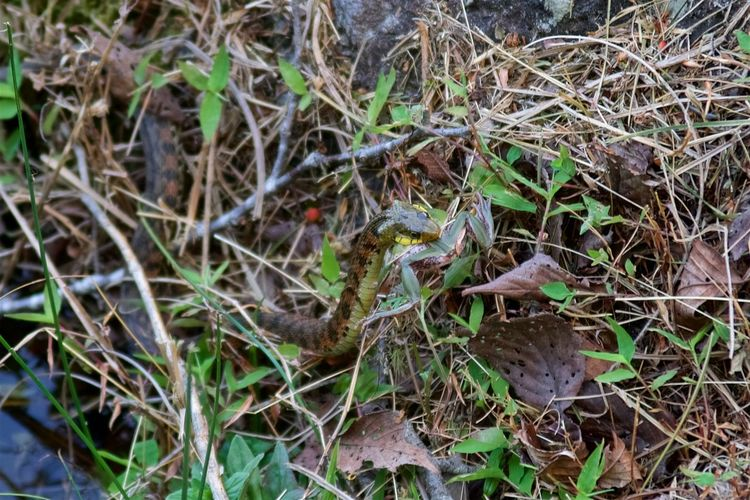 Amphibian Animal Animal Themes Animal Wildlife Field Frog Natural Enemy Nature Outdoors Predation Reptiles Rhabdophis Tigrinus Snake Tiger Keelback