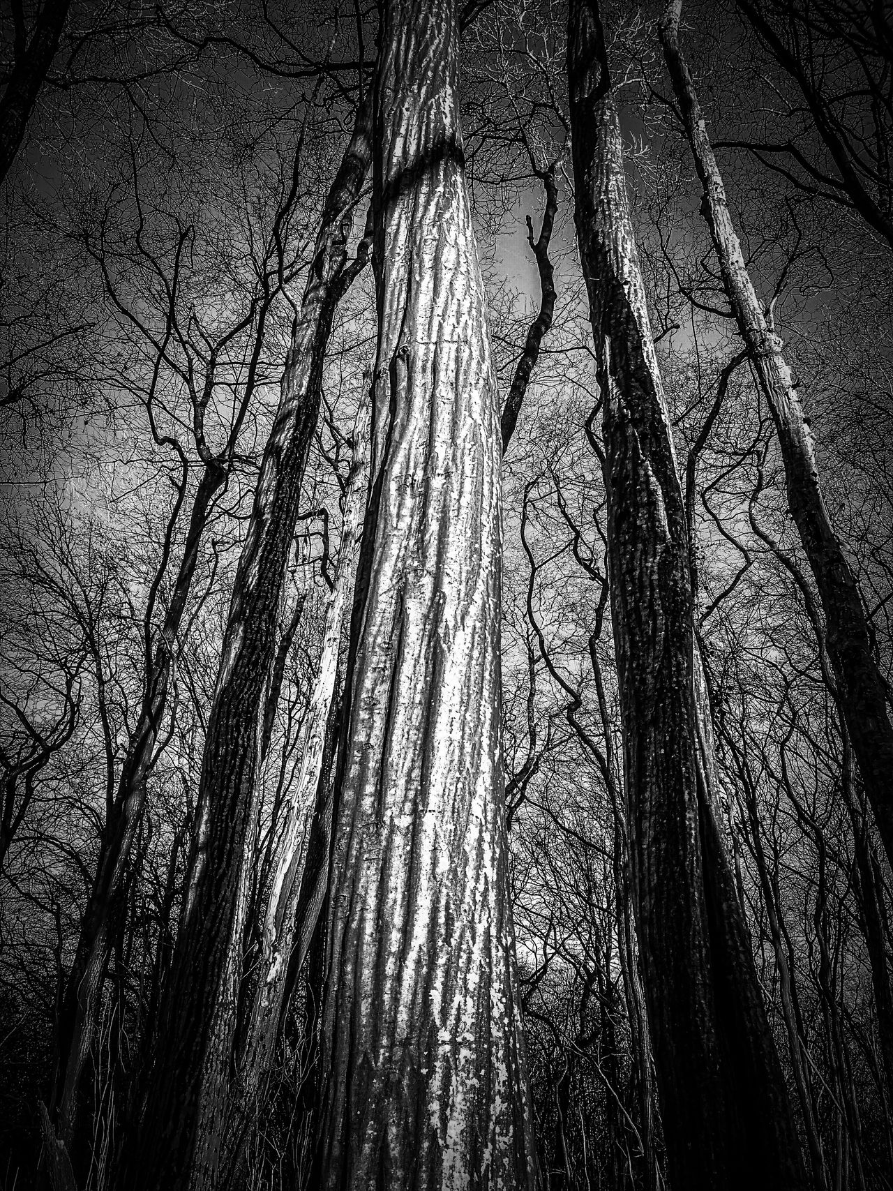 Tree Low Angle View No People Nature Growth Sky Backgrounds Beauty In Nature Outdoors Day Low Angle View Tree Woodlands Plant Hornbeam Bark Texture Tree Trunk Black And White Photography Full Frame Close-up