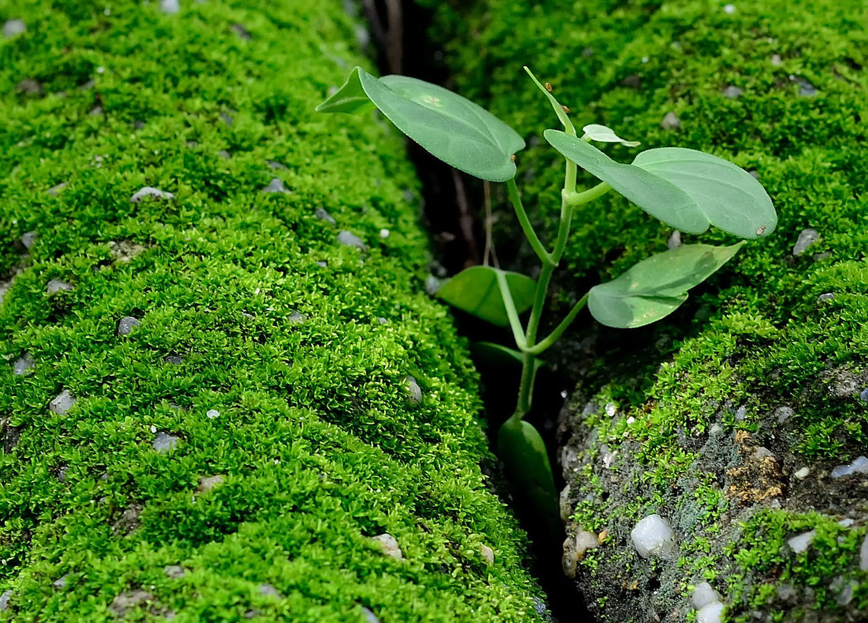 In tight space Beauty In Nature Green Color Green World Greens Leaves Life Moss Nritzz Tight Squeeze Tiny Plants Still Life Fine Art Photography