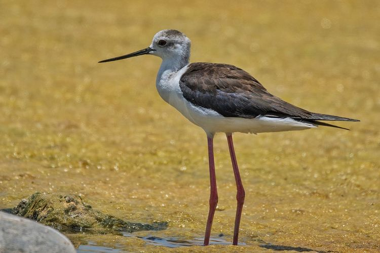 Black-winged Stilt Bird Animal Wildlife Animals In The Wild Water No People One Animal Outdoors Nature Close-up Bird Photos Feather  Sunny Beauty In Nature Birds🐦⛅ Beak Feather  Sky Day Feather