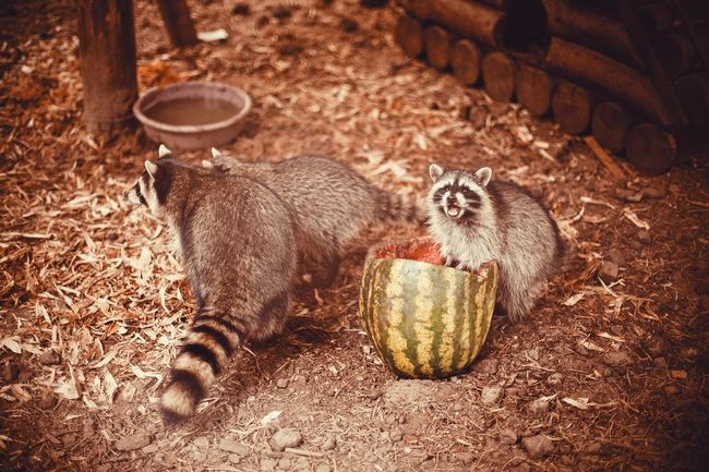 Raccoons Fur Zoo Animals Nature Nature_collection