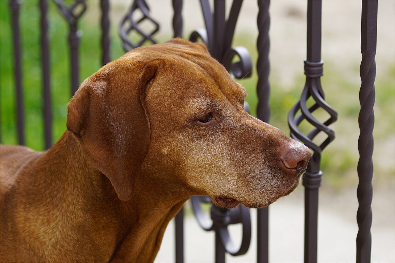Open Edit Tadaa Community Magyar Vizsla Dog One Animal Animals Domestic Animals Focus On Foreground Pets Mammal Animal Themes Close-up Brown No People Outdoors