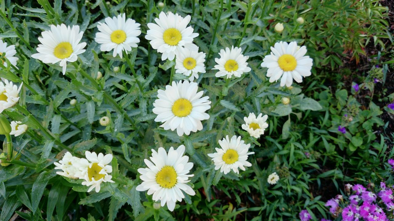flower, petal, fragility, freshness, beauty in nature, growth, nature, daisy, flower head, white color, blooming, plant, outdoors, day, yellow, no people, uncultivated, springtime, leaf, close-up, osteospermum