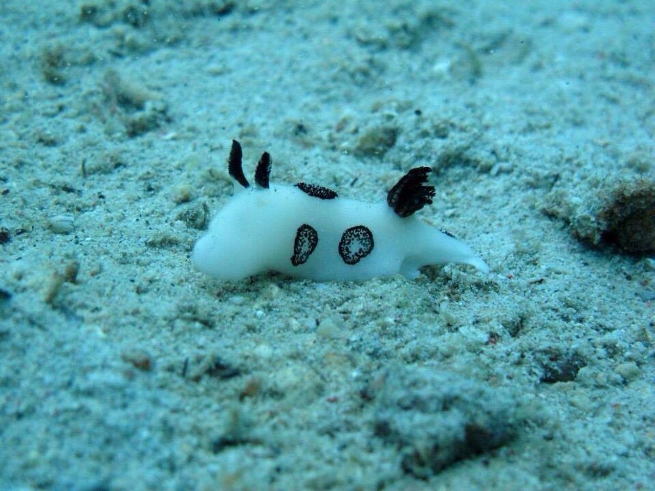 Nudi Nudibrach Diving SCUBA Underwaterworld Uwphotography Scuba Diving Scubadiving Jorunna Funebris - Black And White Nudibranch