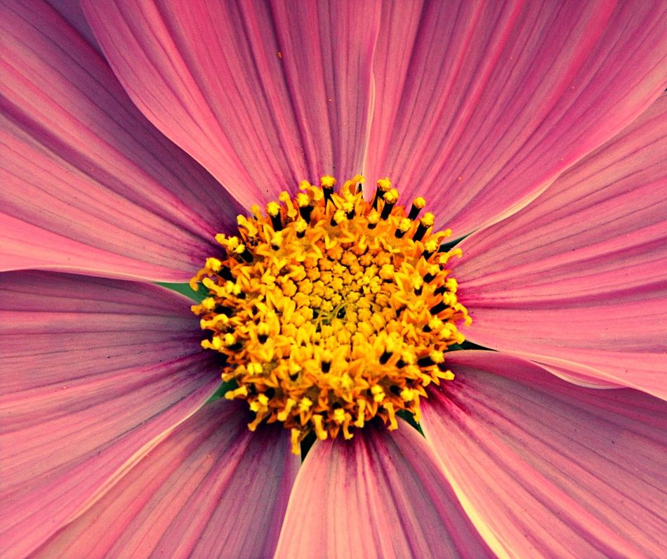 Natural Beauty Backgrounds Beauty In Nature Close-up Day Flower Flower Head Flowers Flowers, Nature And Beauty Fragility Freshness Full Frame Nature No Animal No People Only Flowers Outdoors Pattern Petal Pink Color Pollen Sunflower Zoom In