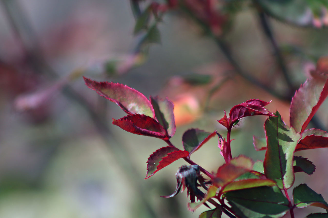 Beauty In Nature Close-up Day Flower Fragility Freshness Growth Leaf Maple Leaf Maroon Nature No People Outdoors Plant Red Tree