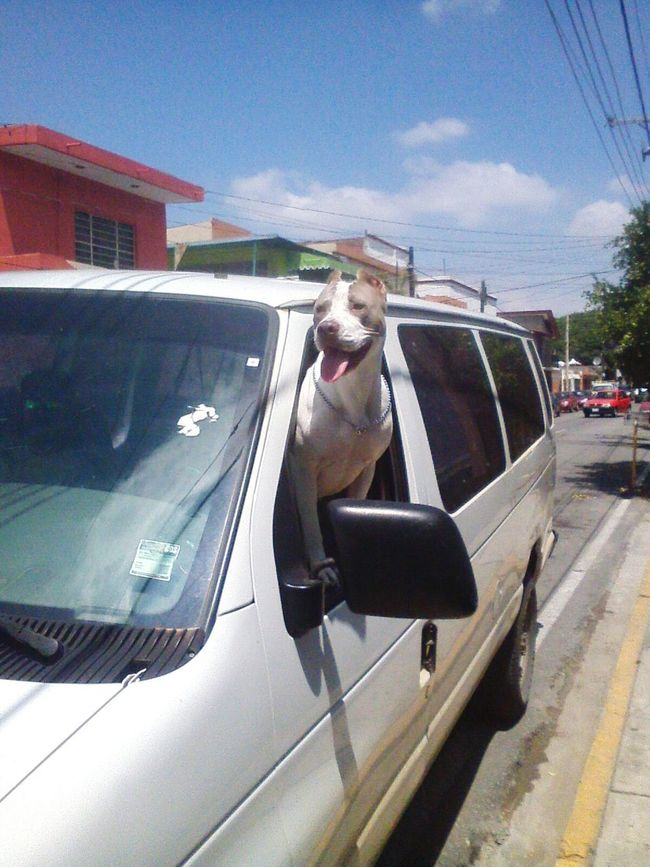 Feliz :) Pitbull Pet Photography  Pitbulllove Pet Love Pitbull♥ Petlover Dogslife Dog Love Pitbullprobs