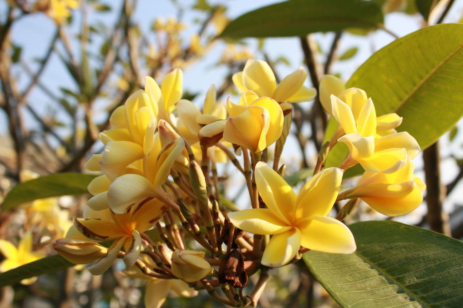 monday🤣 Yellow Day Yellow Flowers Nature Tree Beauty In Nature Flower Head Canon😉 Thailand🇹🇭