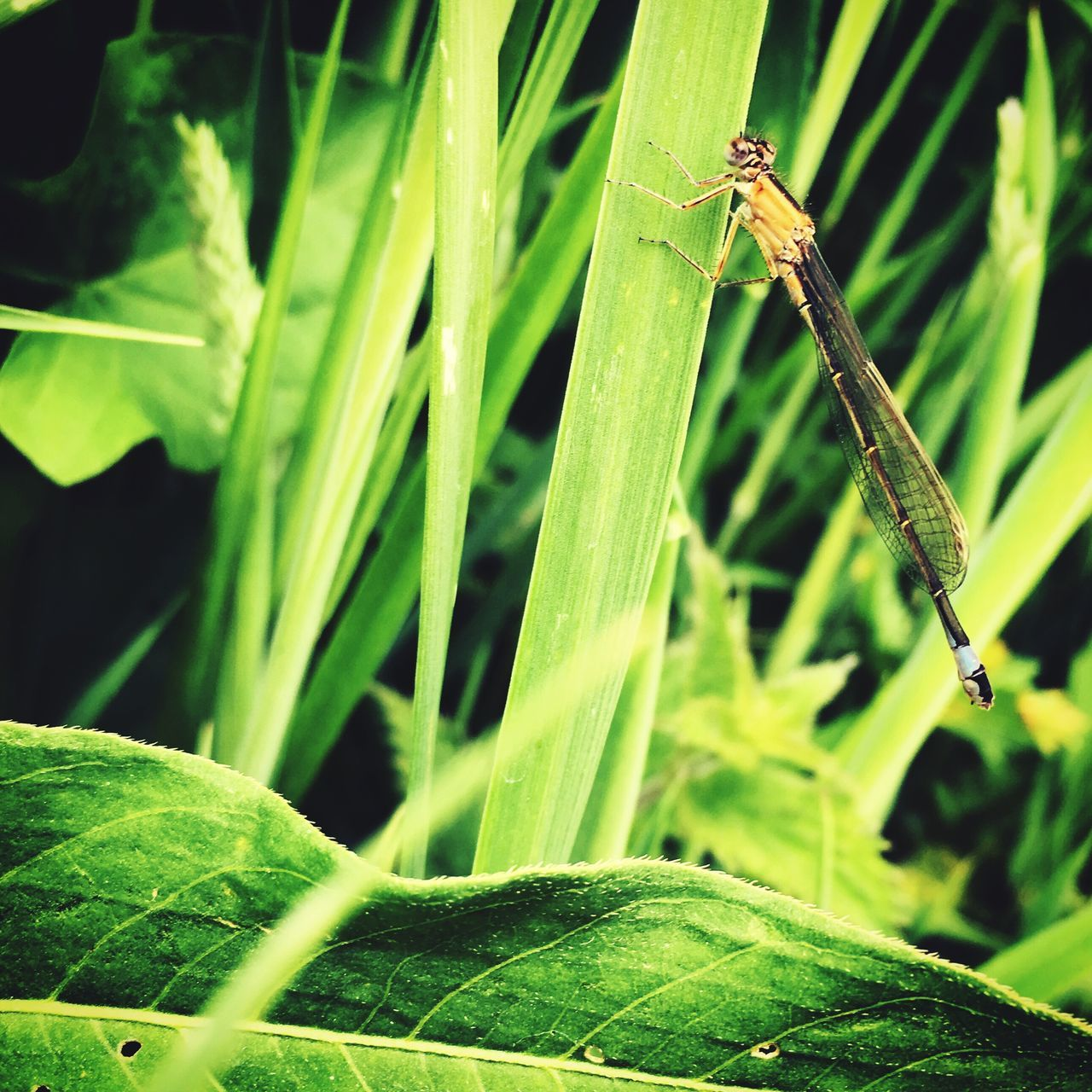 Damselfly Insect Green Color One Animal Leaf Animal Themes Plant Growth Animals In The Wild Nature Day Outdoors Close-up No People Focus On Foreground Grass Damselfly Beauty In Nature The Great Outdoors - 2017 EyeEm Awards